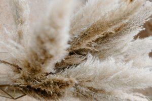 biała trawa pampasowa